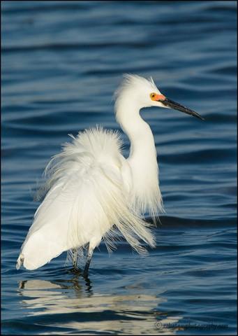 Snowy Egret3