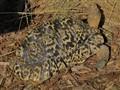 613/47170  Leopard Tortoise