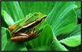 Droplets and  Leaf Frog