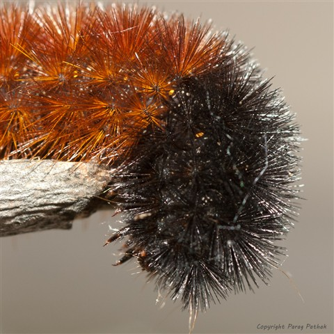 Spikey_Caterpillar-3