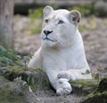 White Lioness - Ouwehands Dierenpark Rhenen, The Netherlands
