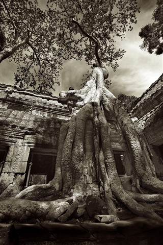 Ta Prohm Silk Tree Cotton