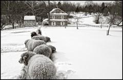 Sheepscape