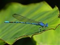 Vivid Dancer (Argia Vivida) Damselfly