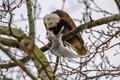 is a bald eagle