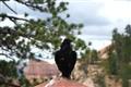 Raven1440wide