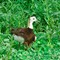 PHEASANT-TAILED JACANA WITH EIGHT LEGS