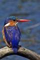 Malachite Kingfisher2