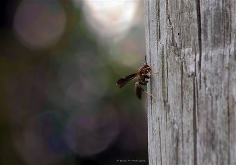 Wasp on wood pole
