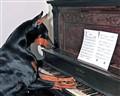 Doberman Piano Solo