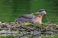 Red-necked Grebe mom and baby