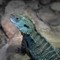 Gippsland-water-dragon