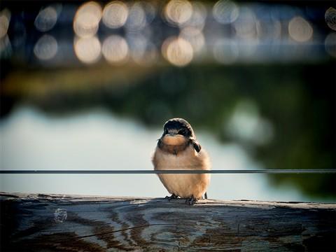Li'l Bird on Fence