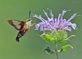 HUMMINGBIRD MOTH ON BLUE BUTTON