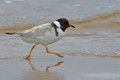 The Hooded Plover is critically endangered on Australia's southern beaches. Some irresponsible dog owners, ignoring pleas from local councils, allow their dogs to run free on designated closed beaches. I was so happy to see this healthy bird on a local beach.