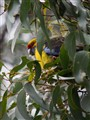 Green rosella in Tasmania