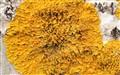 Golden Shield Lichen