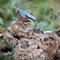 Every Grain Counts: A chestnut-bellied nuthatch eating rice. Sattal, Uttarakhand, India February 2017