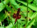 Dragonfly Valentine