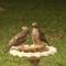 Hawks at birdbath