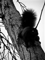 Squirrel Black and White