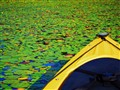 Kayaking through the lily pads