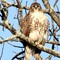 Eagle Hawk 1-26-18 53