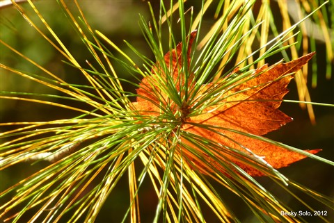 leaf in pine
