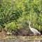 Blue Heron Posing Nicely