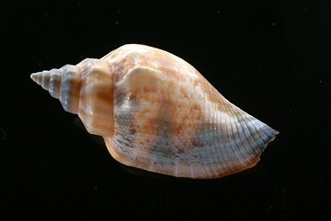kagylo01