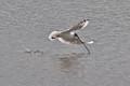 Black Headed Gull Spear Fishing.
