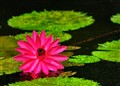 Water Lilly in Rain