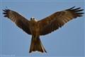 Black Kite X