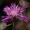 P8180165 Centaurea bracteata