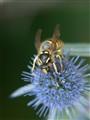 Wasp on echinops flower