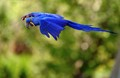 Hyacinth Macaw (Click on Image for High Rez)