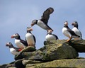 Puffins on Eilean Mor, the Flannans, Outer Hebrides.