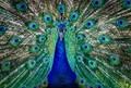 Petey the Peacock