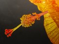 Detail of Hibiscus Stamen - Backlight