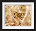 This is a Tiger Stripped Halloween Pennant Dragonfly. The Halloween pennant gets its name from its orange colored wings, which have dark brown bands marking them. It can often be seen perched on tips of vegetation near the edges of waterways. This one was found in Estero Florida.