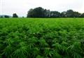 Green plantage