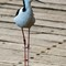 Black-winged Stilt 06
