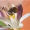 Bee on Lemon Flower