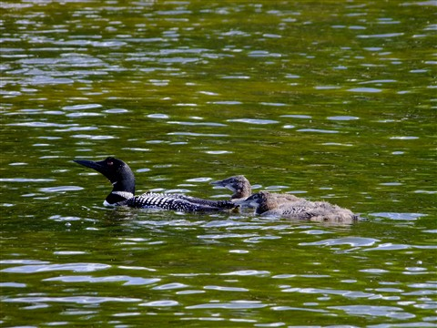 Female Common Loon with Chicks