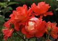 Scarlet Floribunda.