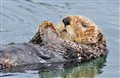 Sea otter in Seldovia harbour