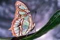 A Swallowtail?