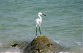 Peaceful Egret