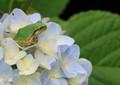 Frog on Hydrangea
