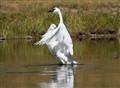 Dancing Trumpeter Swan